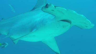 Shark Bites - Hammerhead Shark