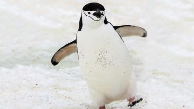 Animaltastic - 4 reasons penguins are the coolest