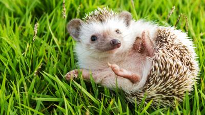 Junior Vets On Call - Quiz: How well do you know hedgehogs?