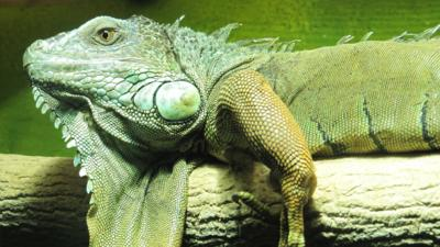 Backshall's Deadly Adventures - Quiz: How well do you know iguanas?