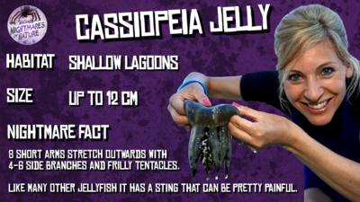 Cassiopeia Jelly fact sheet. Habitat: Shallow lagoons. Size: Up to 12cm. Nightmare Fact: 8 short arms stretch outwards with 4-6 side branches and frilly tentacles. Like many other jellyfish it has a sting that can be pretty painful. A woman in a wetsuit holds up a small grey coloured jellyfish by it's top, (Naomi).