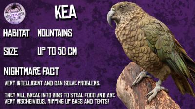Fact sheet about the Kea. Habitat: Mountains. Size: Up to 50cm. Nightmare Fact: Very intelligent and can solve problems. They will break into bins to steal food and are very mischeivious, ripping up bags and tents! A large green parrot with a hooked beak sits on a log (Kea).