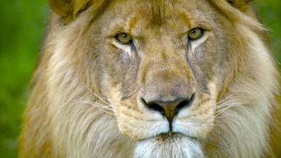Nature on CBBC - Go face to face with a lion