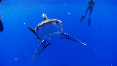 Shark Bites - Oceanic Whitetip Shark