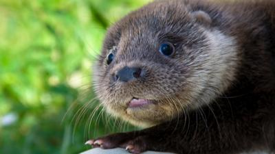 Winterwatch on CBBC - Otter cubs in trouble