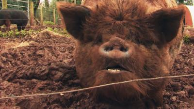 The Pets Factor - Meet vet James' cute Kunekune pigs