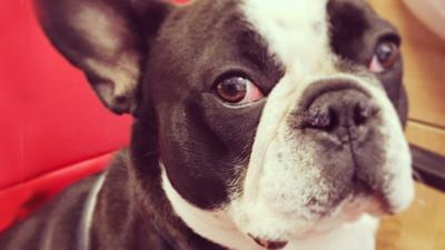 The Pets Factor - Napoleon the French bulldog's nose operation