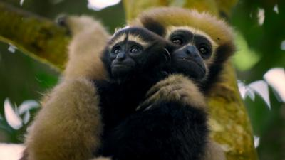Planet Defenders - Ash met the Hoolock Gibbon, India's only ape