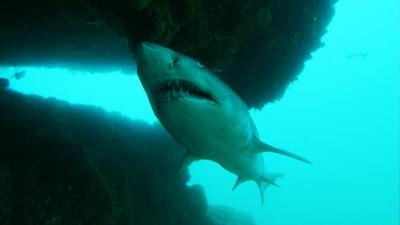 Shark Bites - Ragged tooth shark