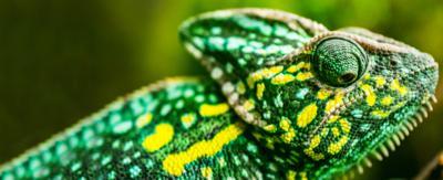 A colourful chameleon.