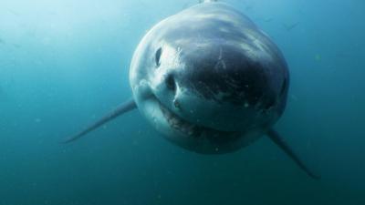 Shark Bites - Great White Shark