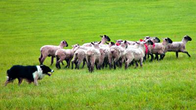 Sheep in a field with random words on them.