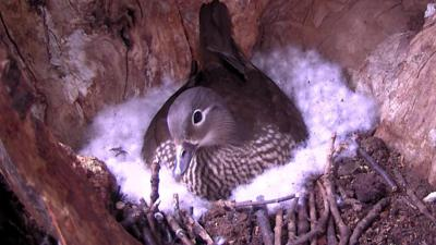 Springwatch on CBBC - Mandarin duck nest cam