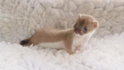 Springwatch on CBBC - A baby stoat explores its new home