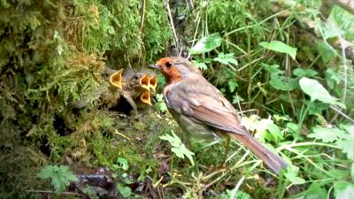 Springwatch on CBBC - The robin chicks are growing up