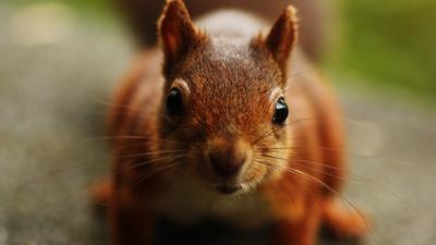 Close up of a curious red squirrel with blurred background.