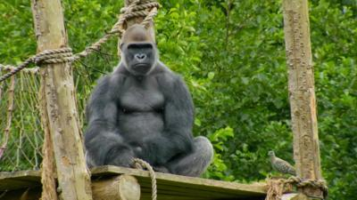 A gorilla looking upset.