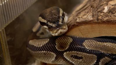 The Pets Factor - Pretzel the python needs a poo!