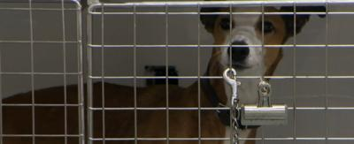 A brown lurcher dog being held in a pen at the vets.