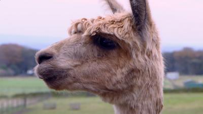 The Pets Factor - Time for an Alpaca pedicure!