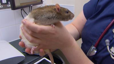 The Pets Factor - Reggie the rat gives Cat the runaround