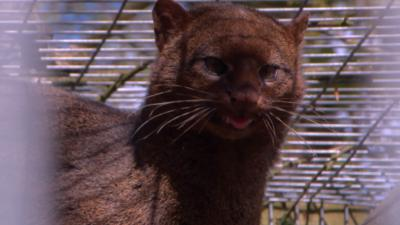 The Pets Factor - Pets Fact-or-Not: Jaguarundi