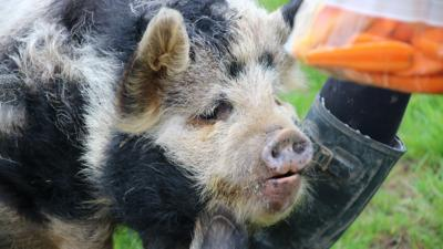 The Pets Factor - Pets Fact-or-Not: Pigs