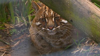 The Pets Factor - Pets Fact-or-Not: Golden Cat