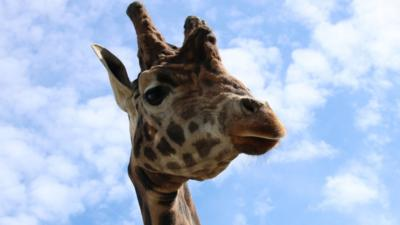 The Pets Factor - Pets Fact-or-Not: Giraffe