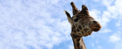 A picture of a giraffe with it's head high in the sky.