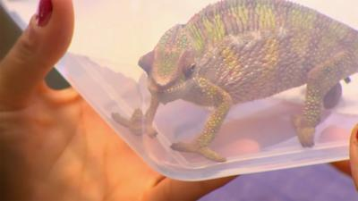The Pets Factor - Pets Fact-or-Not: Chameleon