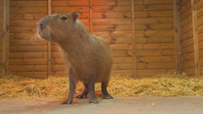 The Pets Factor - Pets Fact-or-Not: Capybara