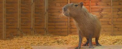 A capybara in a shed with hay on the floor.