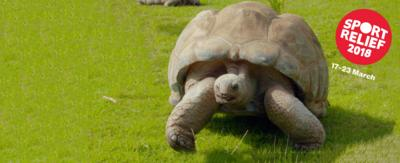 A tortoise walking on grass.
