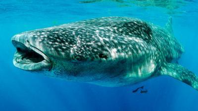 Nature on CBBC - Quiz: Whale shark true or false?