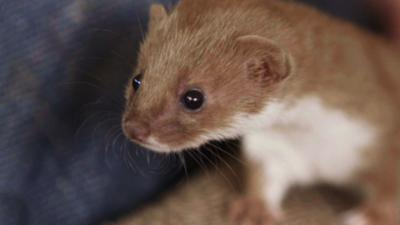 Nature on CBBC - Which Feisty and Fearless Weasel Are You?
