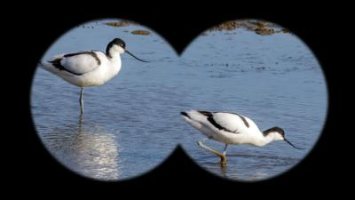 Winterwatch on CBBC - Can you spot the avocet?