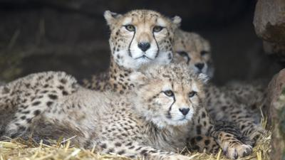 Cheetahs at ZSL Whipsnade Zoo