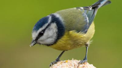 A blue tit on a fat ball against a green background.
