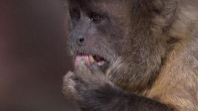 Andy's Wild Adventures - Capuchin Monkeys