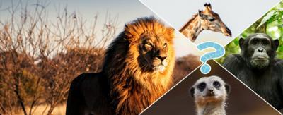 A lion, chimp, meerkat and giraffe.