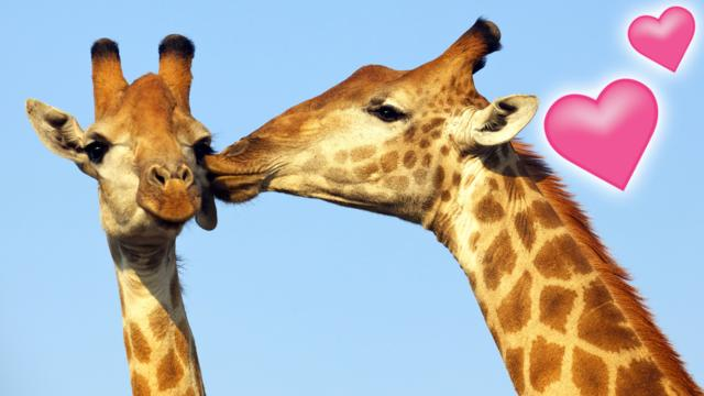 Image of: Wallpaper Nature On Cbbc Gallery Animals In Love Bbc Gallery Animals In Love Cbbc Bbc