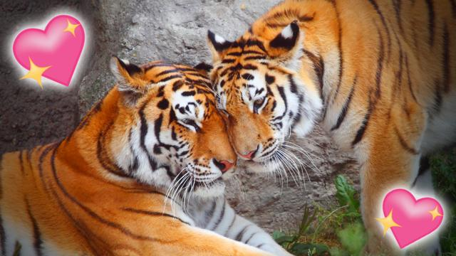 Image of: Bird Pair Of Tigers Touching Heads Affectionately Bbc Gallery Animals In Love Cbbc Bbc
