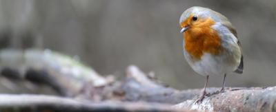 A robin looking inquisitively at the camera