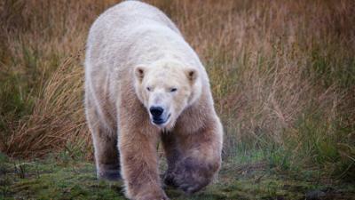 Bear wandering through the grass