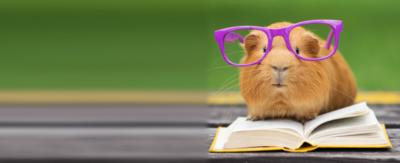 A guinea pig with giant classes on, reading a book.