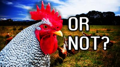 Blue Peter - Quiz: Rooster or Not?