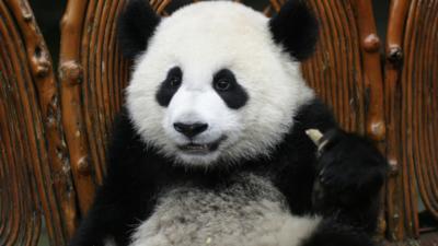 CBBC HQ - 13 times you were a panda