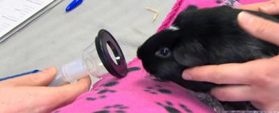 A small black guinea pig sat on a pink blanket next to a tube being held by a vet.