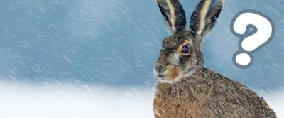 A rabbit in the snow with a question mark.